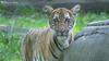 美国首例 纽约动物园老虎确诊新冠肺炎