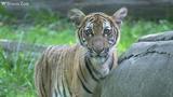 美國首例 紐約動物園老虎確診新冠肺炎